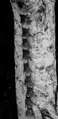 Sleeping bats on a tree trunk