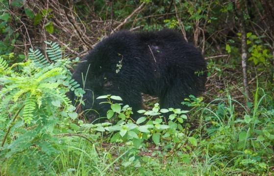 bear-l
