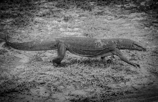 Monitor lizard B&W
